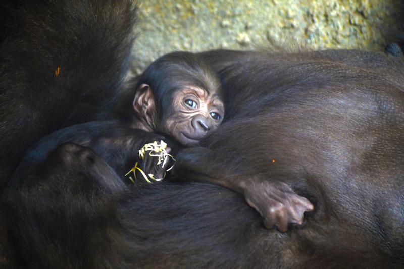 1_Bebé gorila recién nacido en BIOPARC Valencia - julio 2017