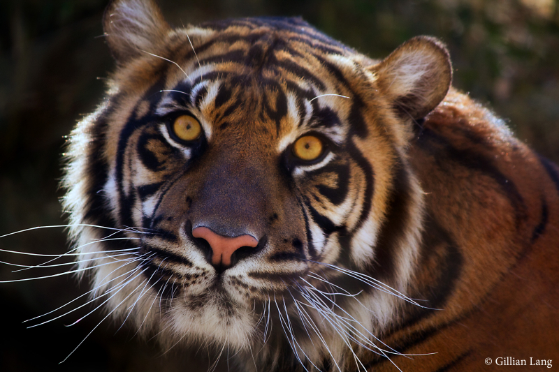 7_OKC Zoo Sumatran tiger Lola 2 by Gillian Lang