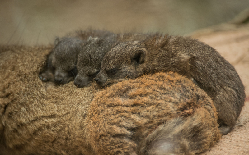 !Rock hyrax triplets born at Chester Zoo (10)