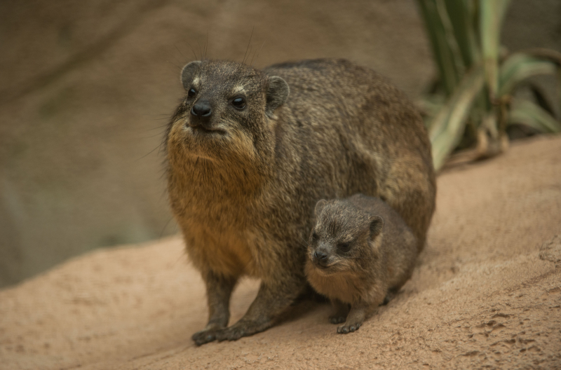 Rock hyrax triplets born at Chester Zoo (20)