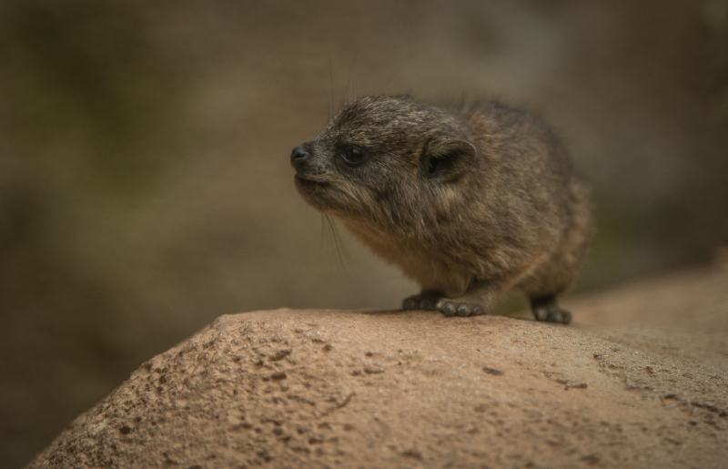 Rock hyrax triplets born at Chester Zoo (24)