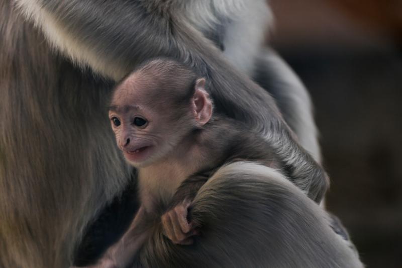 2_Hanuman langur birth (c) ZSL (4)
