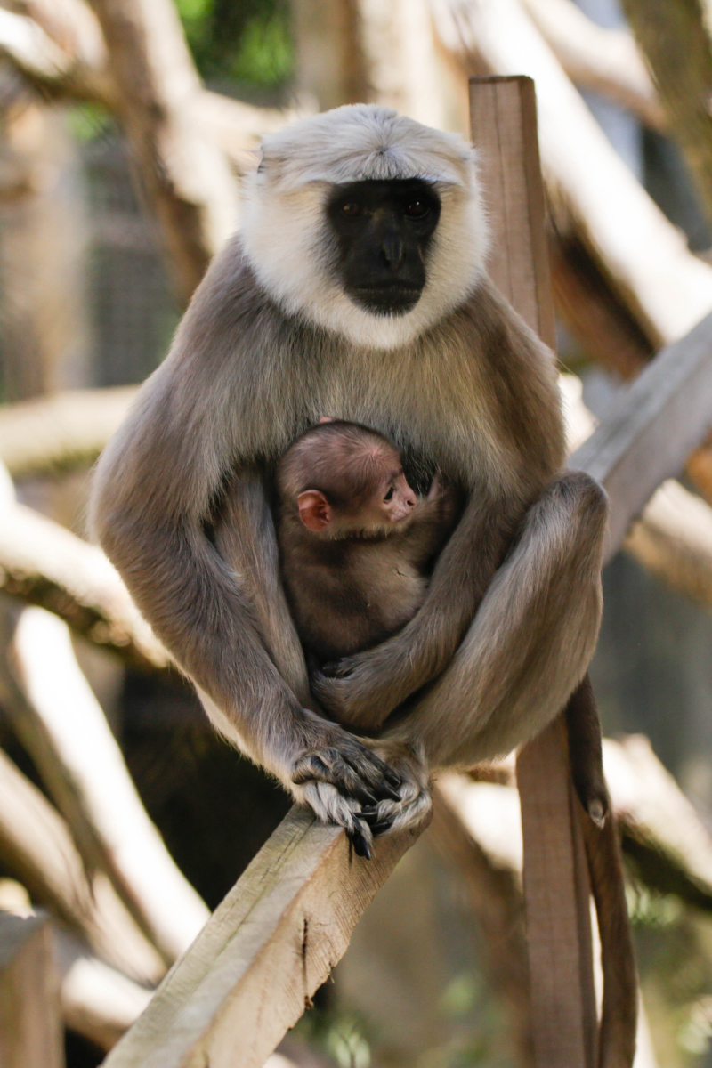 4_Hanuman langur birth (c) ZSL (3)