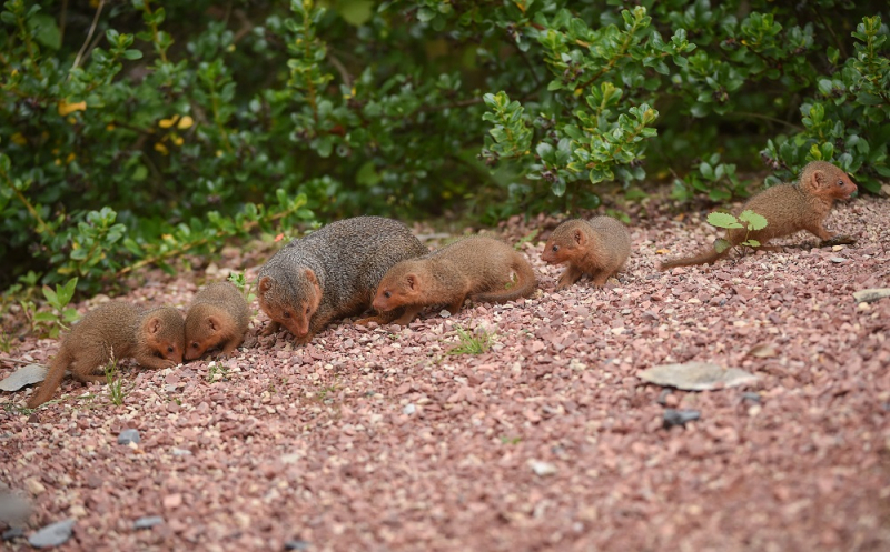 2_Fab five! Dwarf mongoose pups emerge from their den at Chester Zoo (18)