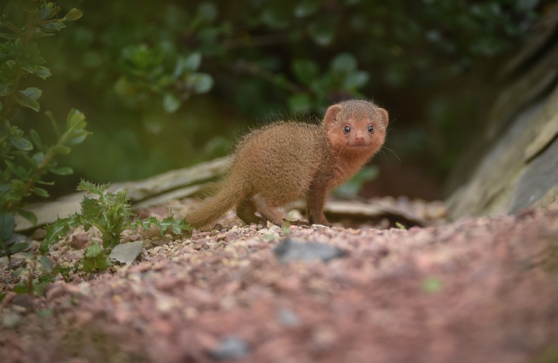 4_Fab five! Dwarf mongoose pups emerge from their den at Chester Zoo (3)