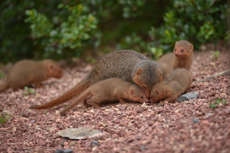 6_Fab five! Dwarf mongoose pups emerge from their den at Chester Zoo (20)