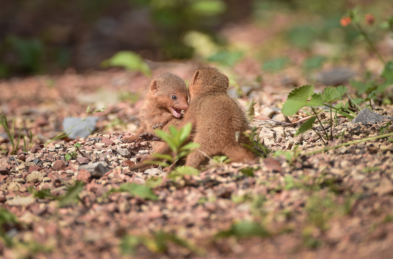 8_Fab five! Dwarf mongoose pups emerge from their den at Chester Zoo (13)
