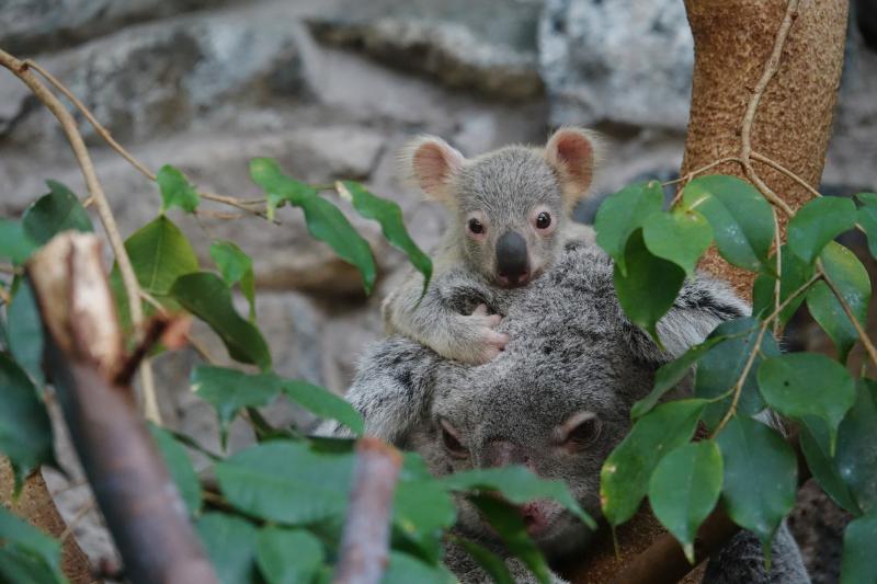 3_17_8_21_Koala_Joey_JP_1