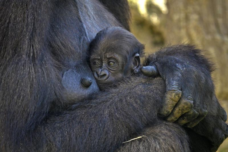 2_La bebé gorila cumple 1 mes de vida - BIOPARC Valencia - agosto 2017 (3)
