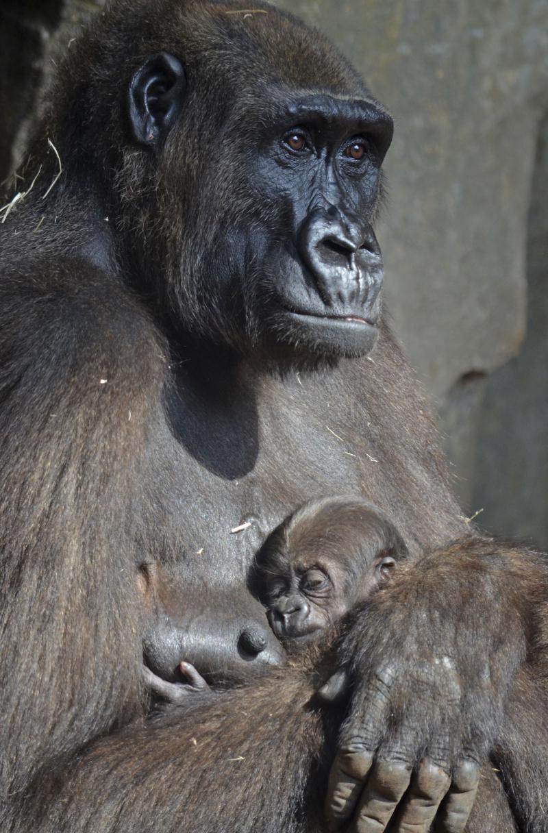 3_La gorila Ali y su bebé de un mes - agosto 2017 - BIOPARC Valencia