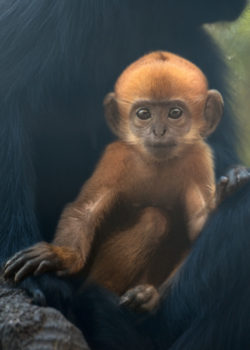 Francois Langur Baby Photo 1 of 5 by Jamie Pham