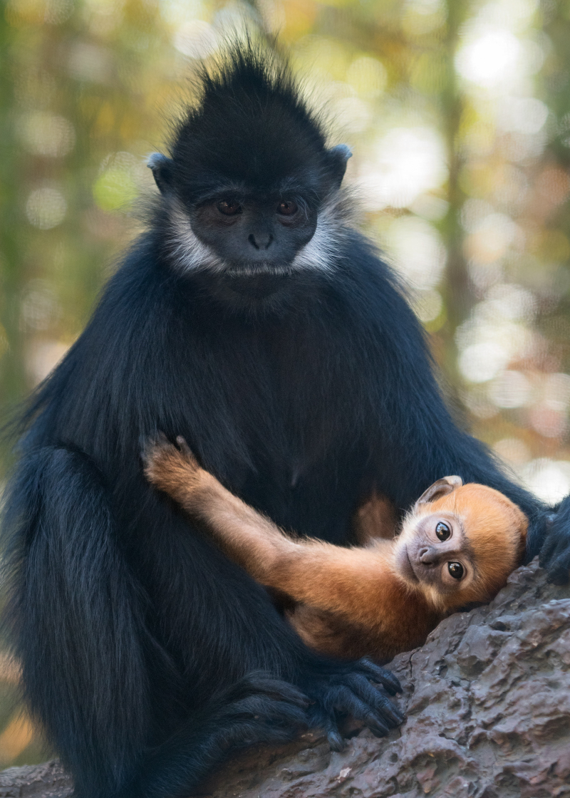 Francois Langur Mom and Baby Photo 4 of 5 by Jamie Pham
