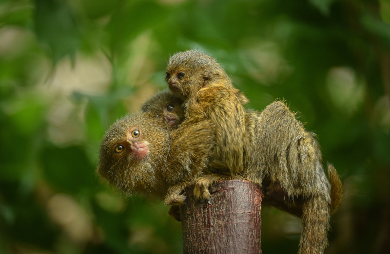 2_World's smallest monkey gives birth to tiny twins at Chester Zoo (1)