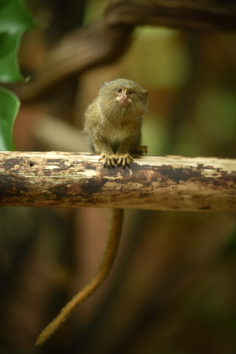 12_World's smallest monkey gives birth to tiny twins at Chester Zoo (30)