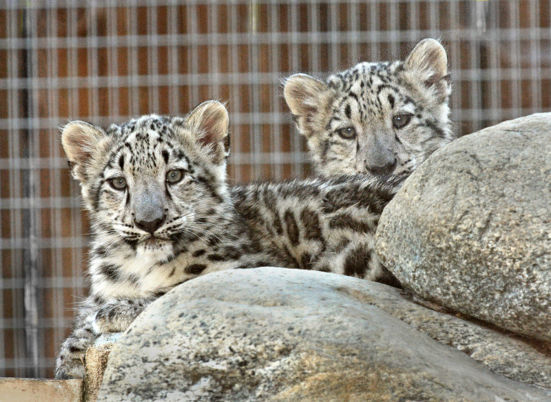 1_LA Zoo Snow Leopard Cubs 8-30-17 by Tad Motoyama