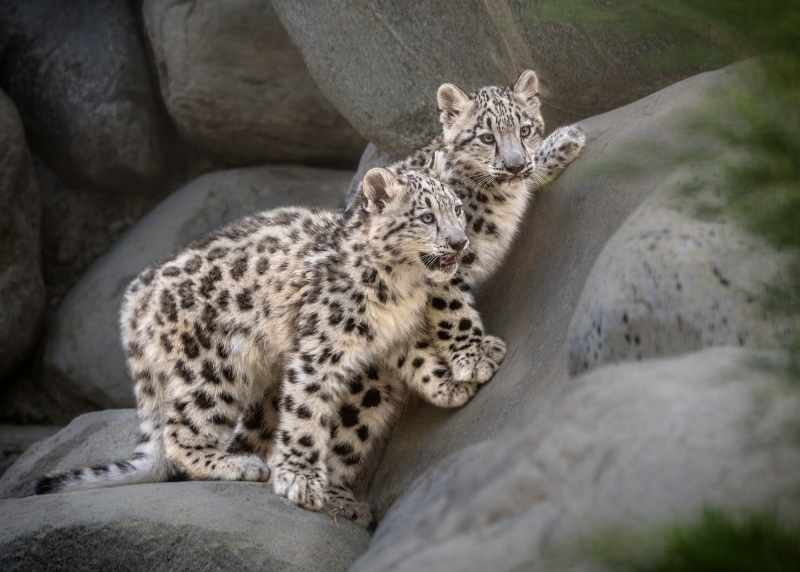 6_Snow Leopard Cubs 1st Day on Exhibit by Jamie Pham