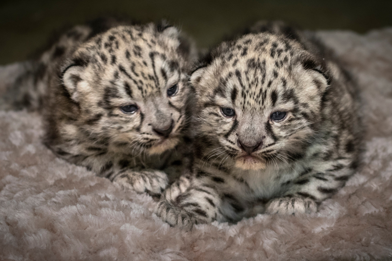 7_Snow Leopard Cubs by Jamie Pham
