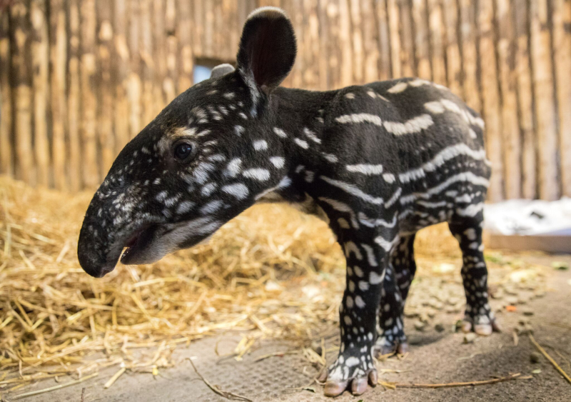 'Pitter-Patter' of Tapir Hooves at Edinburgh Zoo