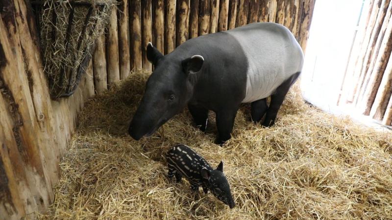 RZSS Tapir calf 3