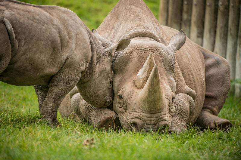 7_A two-month-old baby rhino  named Ike  tries to get the attention of his mum Zuri in the most adorable way at Chester Zoo (25)