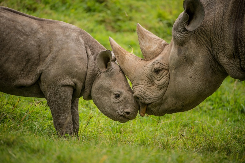 8_A two-month-old baby rhino  named Ike  tries to get the attention of his mum Zuri in the most adorable way at Chester Zoo (36)