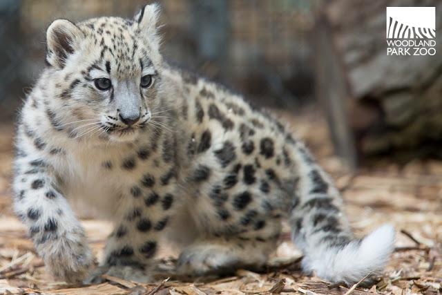 2017_09_19 Aibek snow leopard 900-3wm