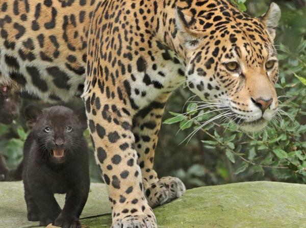 black jaguar cubs learn to stalk at artis zooborns