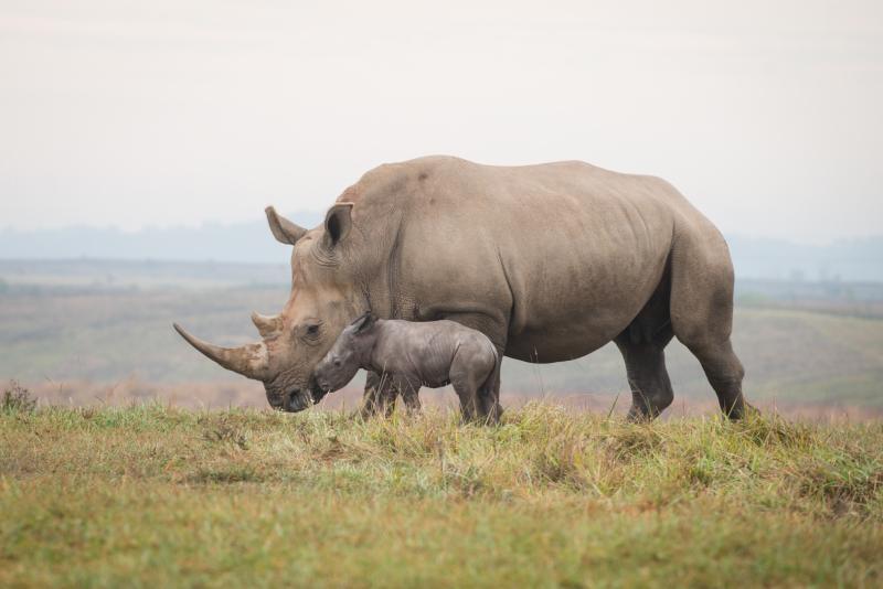 7_Rhino Calf 2696 - Grahm S. Jones  Columbus Zoo and Aquarium