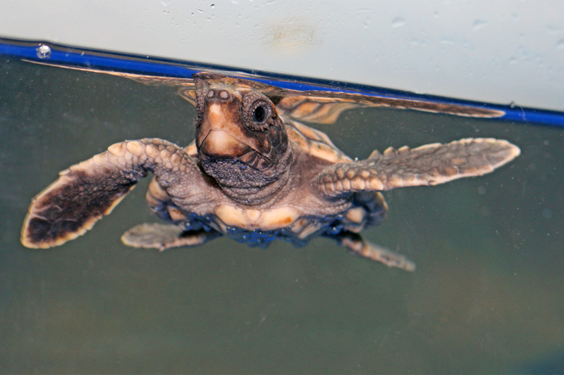 2_Aquar.baby sea turtle