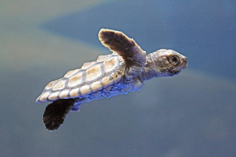 3_Aquar.baby sea turtle.swim