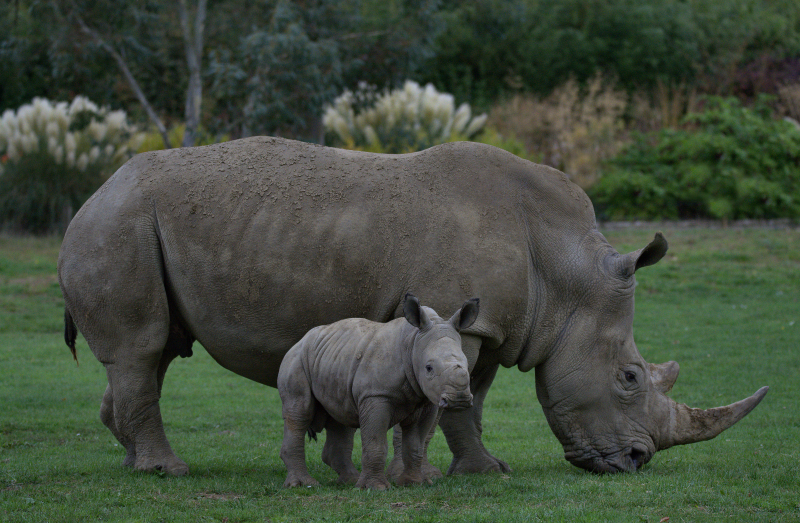 4_Rhino baby Alan (photo credit Jackie Thomas) (3c) (3)