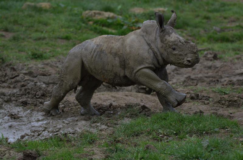7_Rhino baby Alan (photo credit Jackie Thomas) (59)