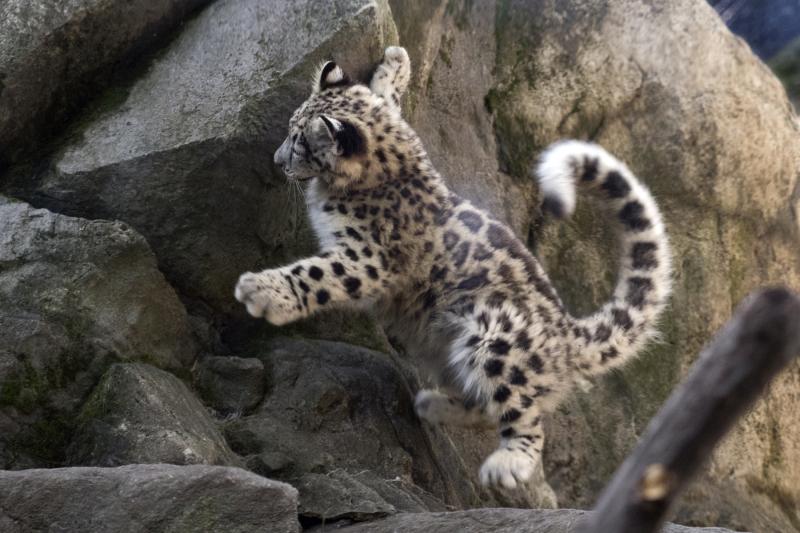 Julie Larsen Maher_7617_Snow Leopard Cub_HIM_BZ_09 07 17