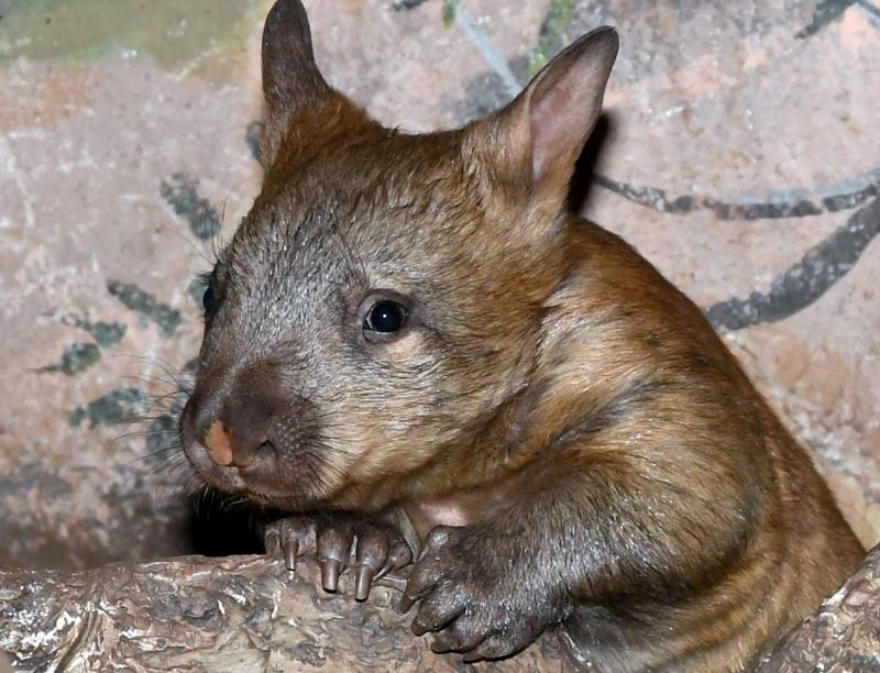 DSC_4562-(10-17)-wombat2