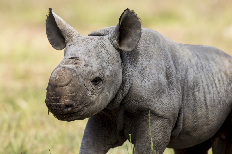3 - Black Rhino calf