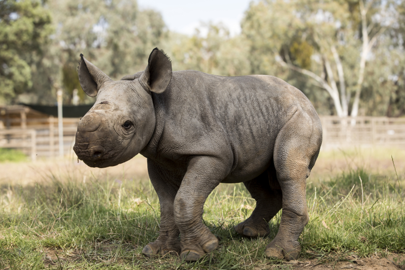 5 - Black Rhino calf