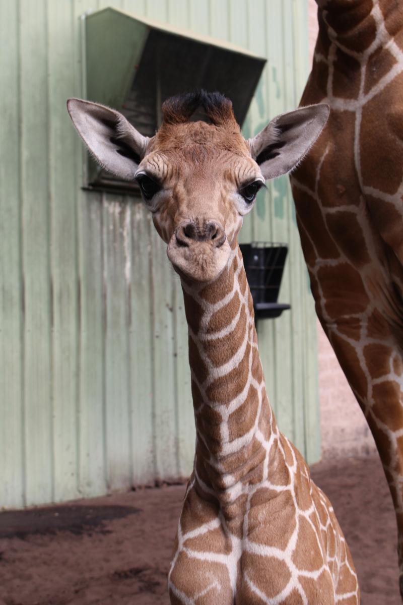 6_male giraffe calf