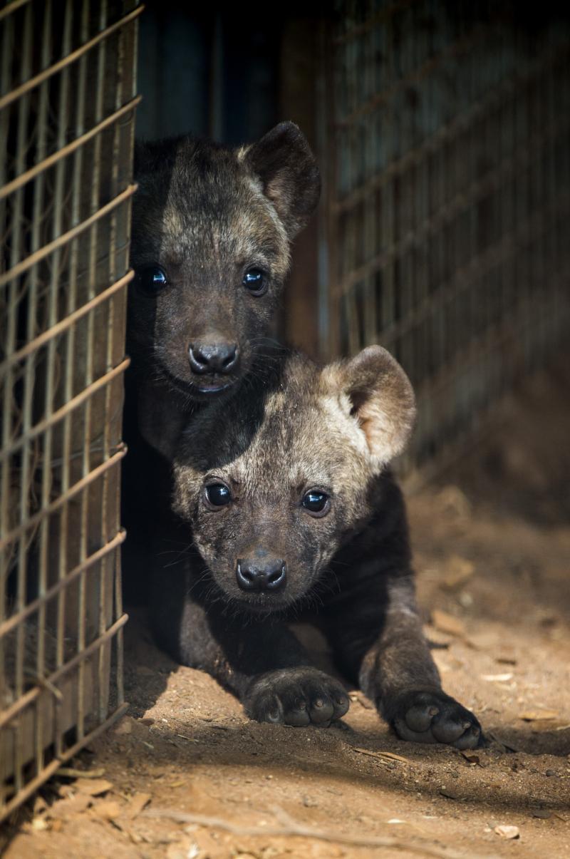 2_Hyena Cub 2 12th Nov 2017 - credit Adrian Mann  Zoos SA (2)