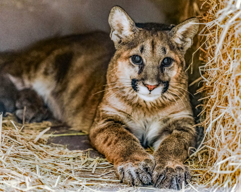 1_Mountain Lion Cub 20171211 -3