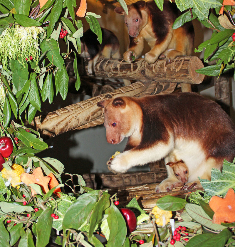 11_(12)  Dad  Hasu-Hasu watches on as Jaya enjoys a Christmas wreath made of her favourite treats!