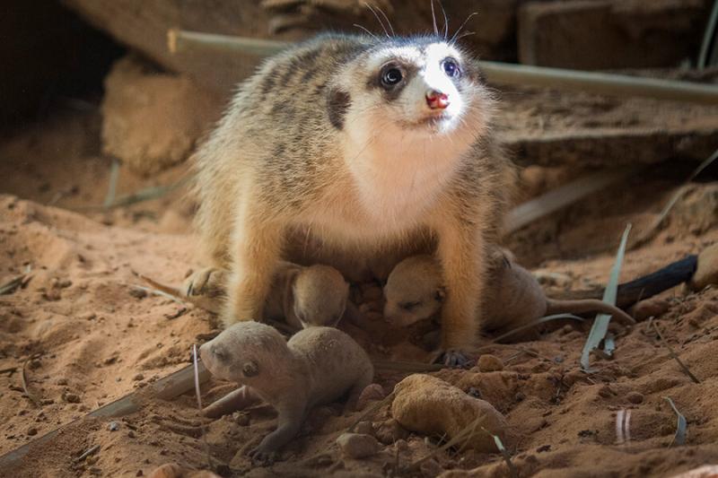 Meerkat-pups
