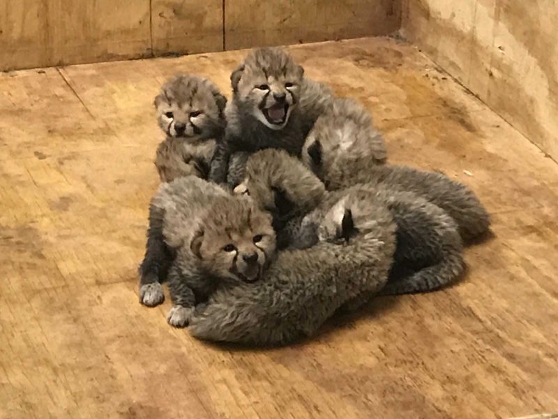 12_Cheetah cubs 2 weeks old 12-12-17_credit Saint Louis Zoo_web