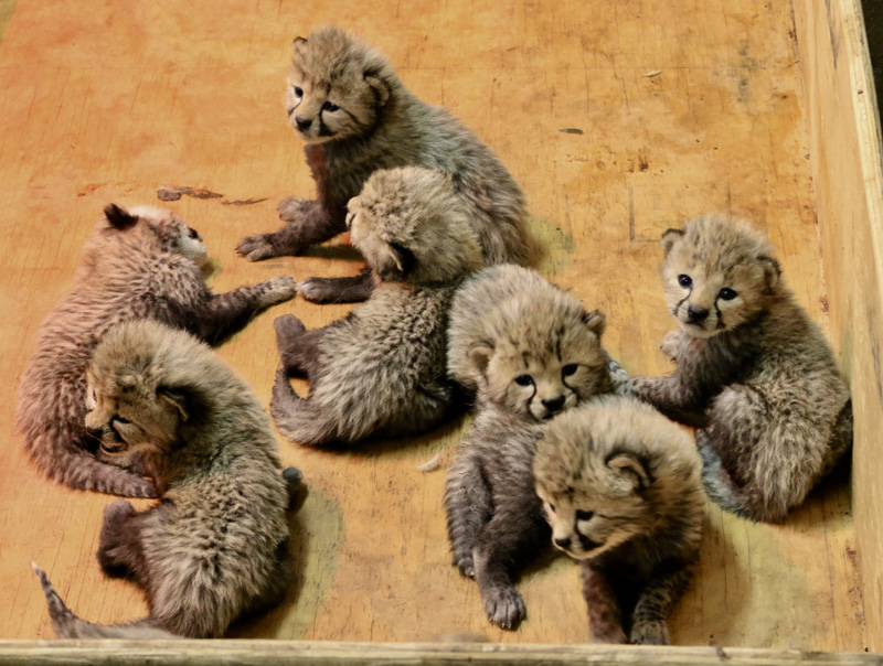 6_Cheetah cubs 3 weeks old 12-19-17_credit Carolyn Kelly Saint Louis Zoo_web
