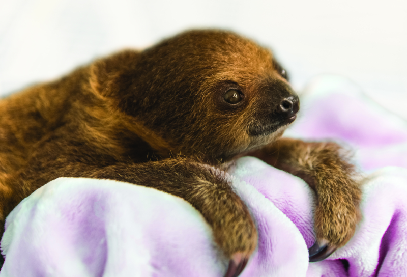 2_National Aviary_Baby Sloth Profile_Jamie Greene