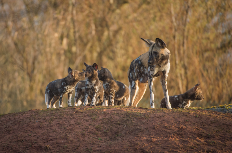 Rare African painted dog pups make their playful debuts at Chester Zoo (49)