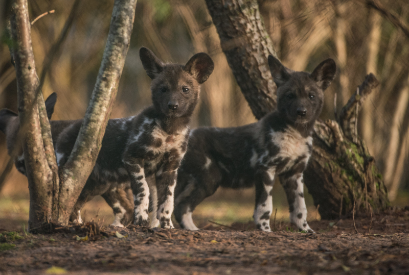 Rare African painted dog pups make their playful debuts at Chester Zoo (45)