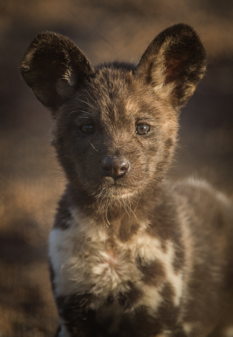 Rare African painted dog pups make their playful debuts at Chester Zoo (7)