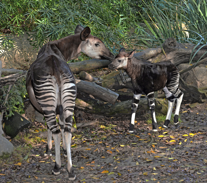 Okapi Mom & Calf - Photo By Tad Motoyama