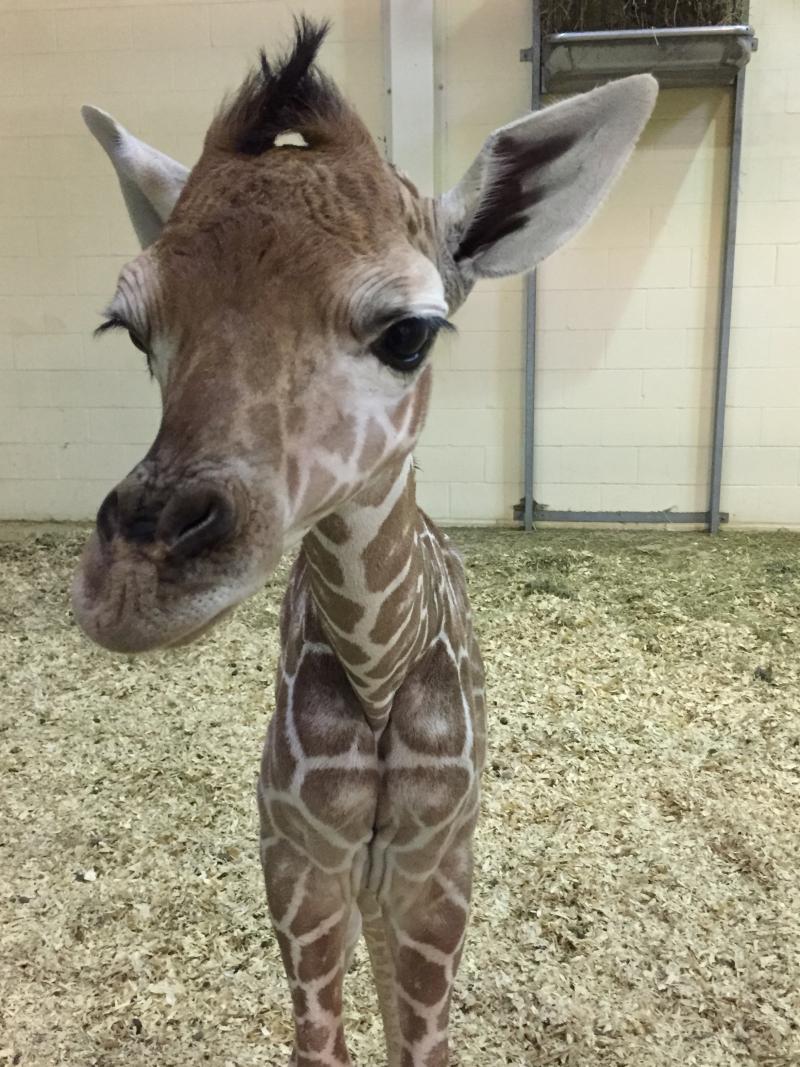 1_Peoria Zoo Giraffe Calf Day One