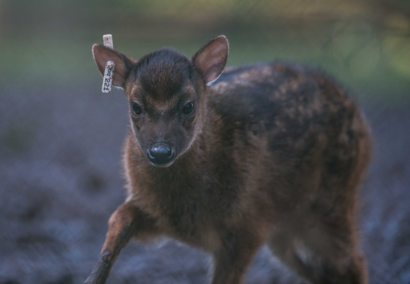 10_Adorable rare Philippine spotted deer makes Chester Zoo debut (13)